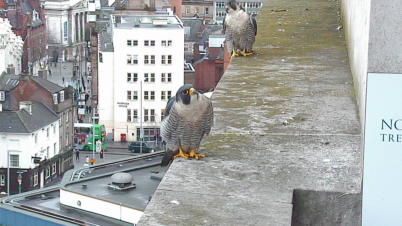 ... we chose St Valentine's Day to launch our falcon webcam again this year.