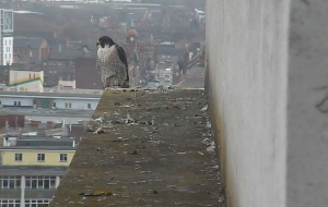 The ends of the ledge are the falcons' favourite spots