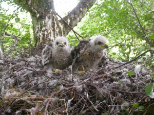 Buzzard chicks (Image John Black)