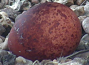 The first peregrine egg to be laid egg in a monitored nest in the UK this year.