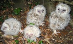 Tawny Owl chicks (library picture)