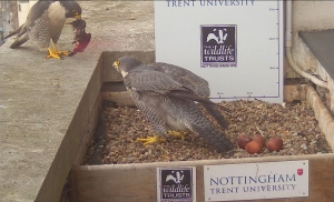 With four eggs in the nest again this year, the adults are set for a busy time
