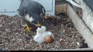 Dinner time: one of the parents feeds the three new chicks