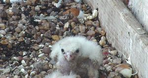 The remaining peregrine chick in the nest box