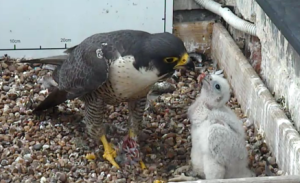 Food for thought: We need you to help name our popular peregrine chick