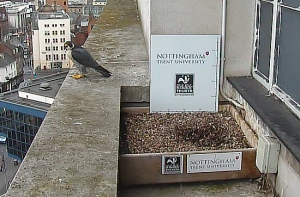 Home: The falcons' nest box, before the chicks arrived