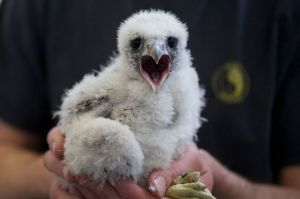 The peregrine chick, just after ringing
