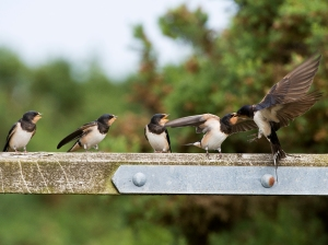 A swallow feeding its young (Image: Mike Vickers)