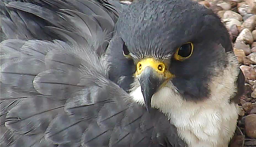 NTU Falcons - Image captured from the falcon cam