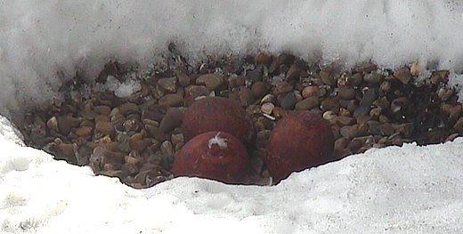 NTU falcons - Three eggs in the snow (captured 28 March 2013)
