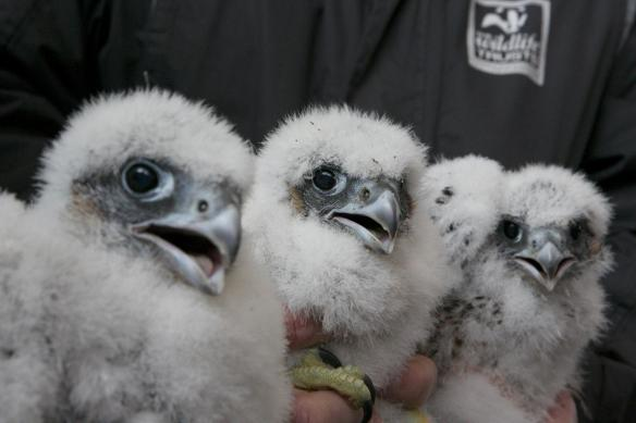 Ringed chicks